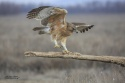 Águila perdicera.