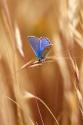 Blue Polyommatus icarus