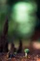 El hada verde de la stropharia
