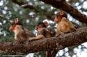 Conviviendo con los Macacos de Berberia.