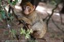 Macaco de Berberia en el Medio Atlas.