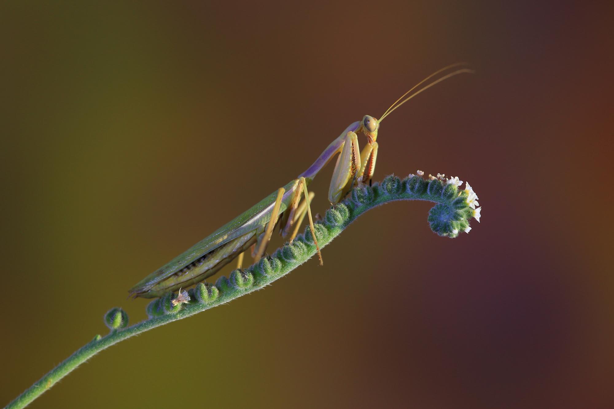 Mantis sobre una verruguera.