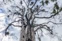 El árbol Fénix