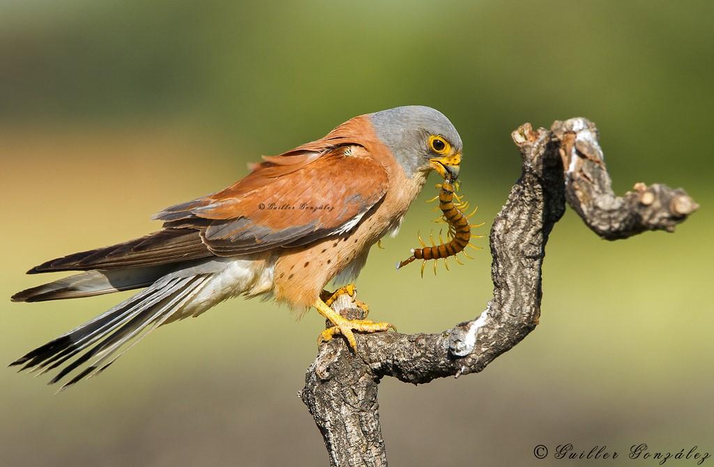 Cazador de escolopendra