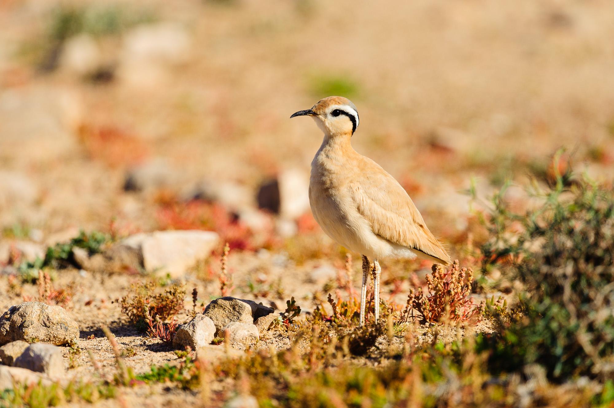 Corredor sahariano (Cursorius cursor)