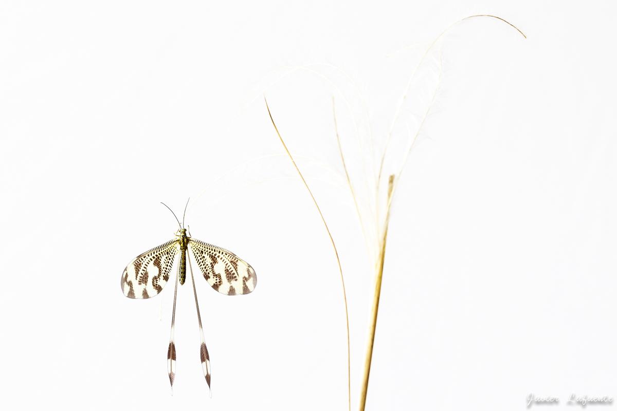 Nemoptera in white