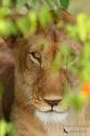 Leona en Masai Mara