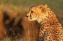 Guepardo en Masai Mara