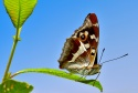 Mariposa Tornasolada