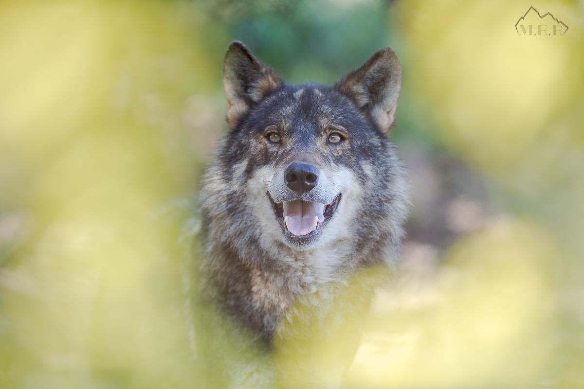 Lobo vivo, Lobo protegido