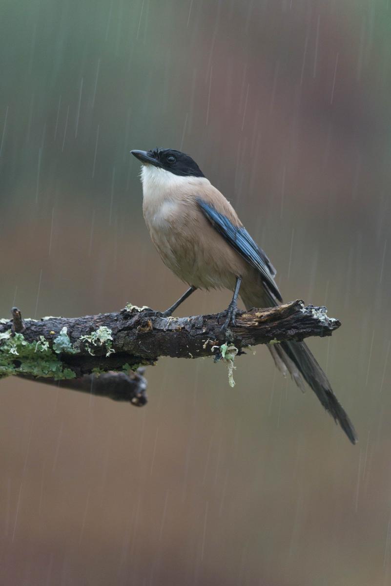 Rabilargo bajo la lluvia