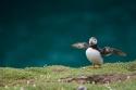 Frailecillo en Skomer Island