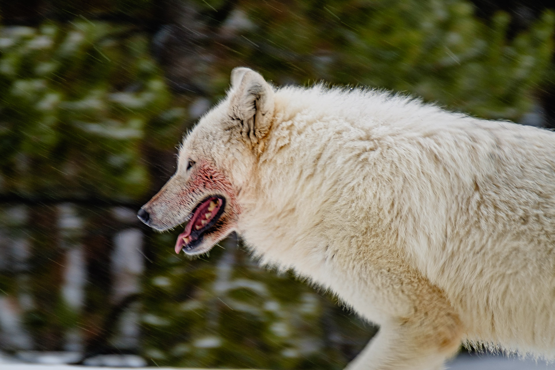 La última loba blanca