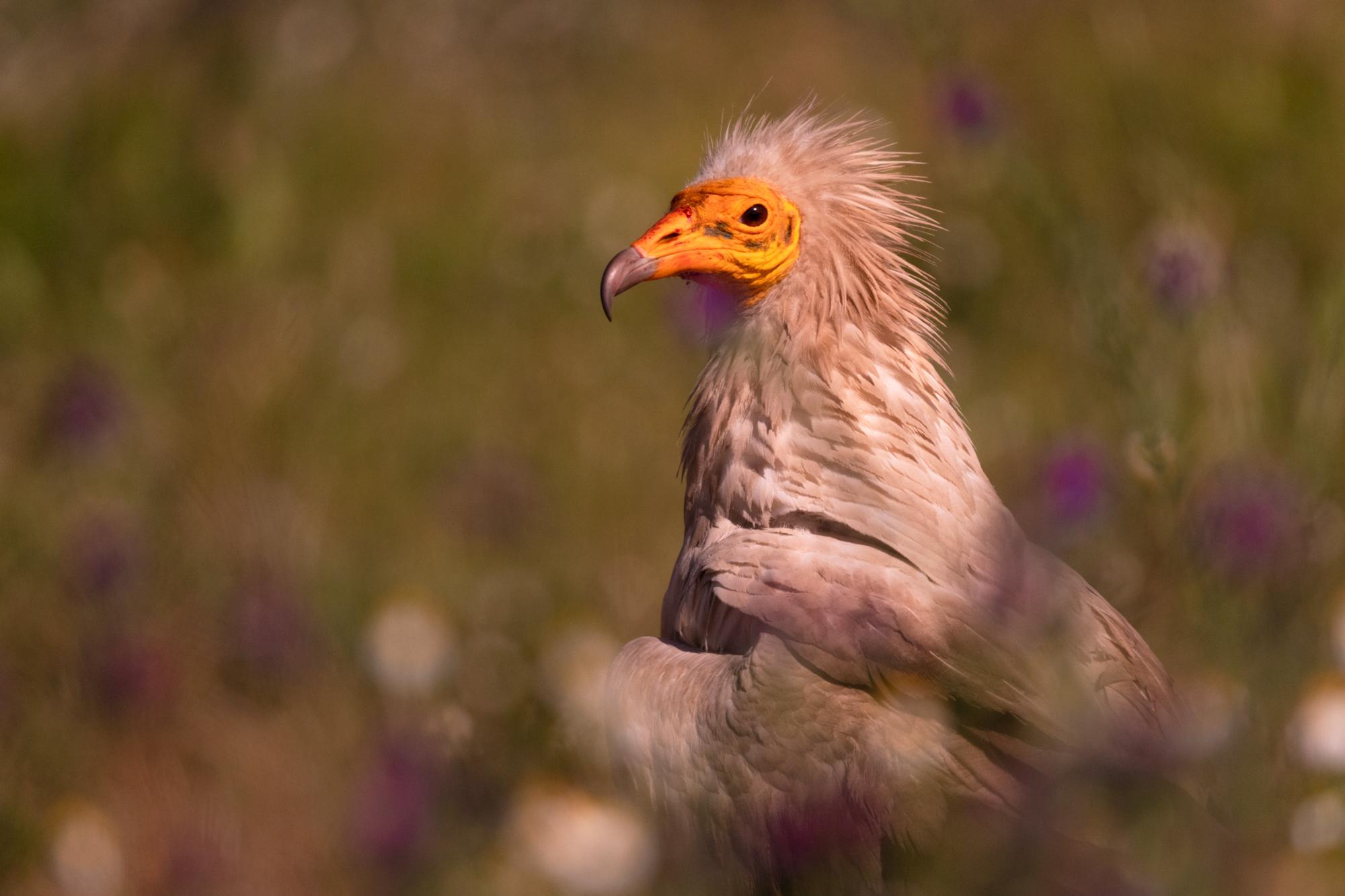 Foto Finalista Vultures Photo Contest ·Casa Daniela· 2019-Entre las flores