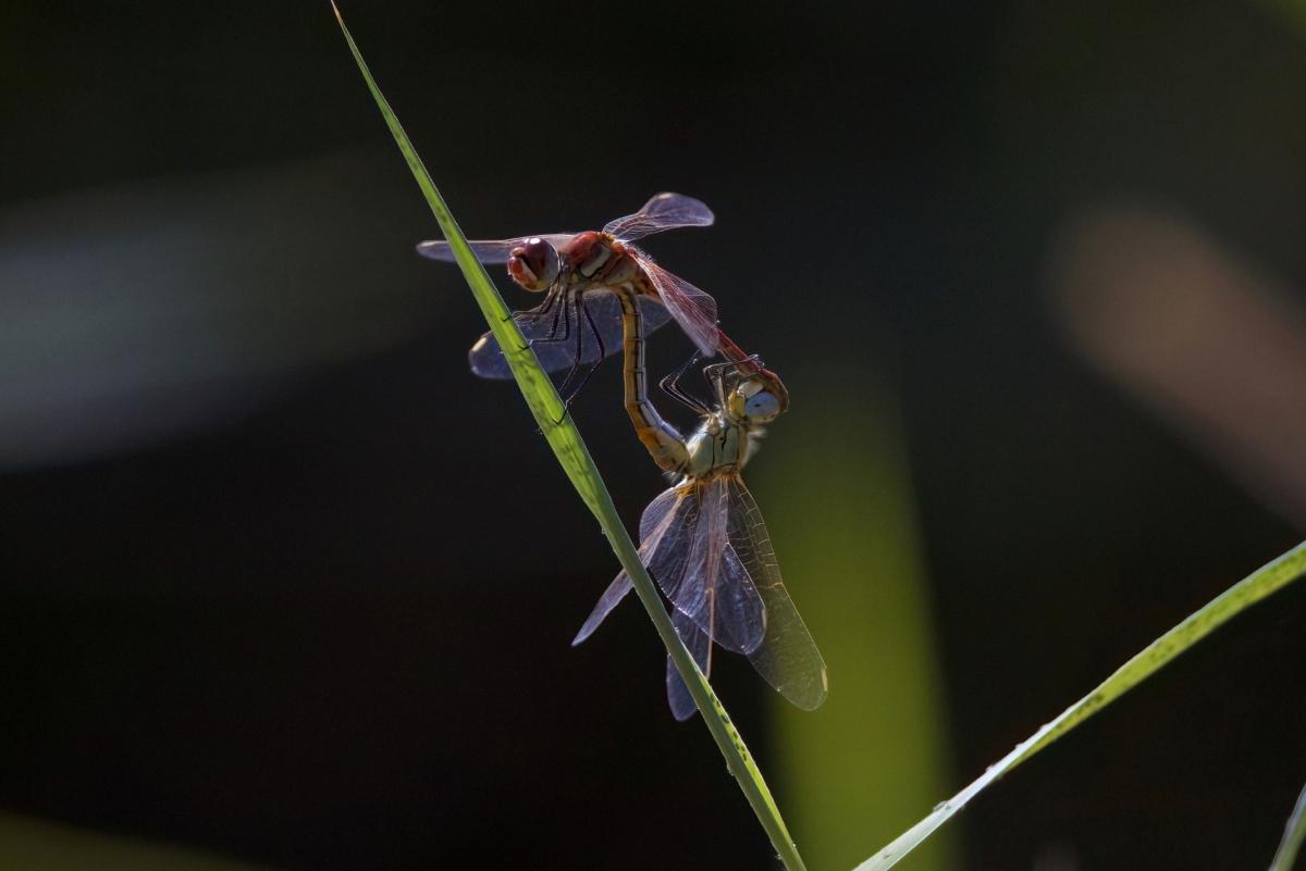 Cópula de libélulas.