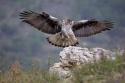 Llegada del águila perdicera