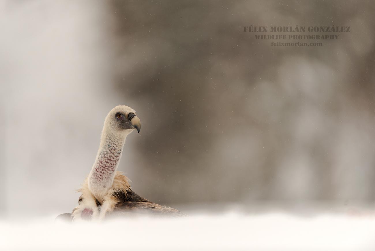 Leonado en la nieve