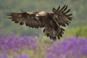 Aguila real / Golden eagle