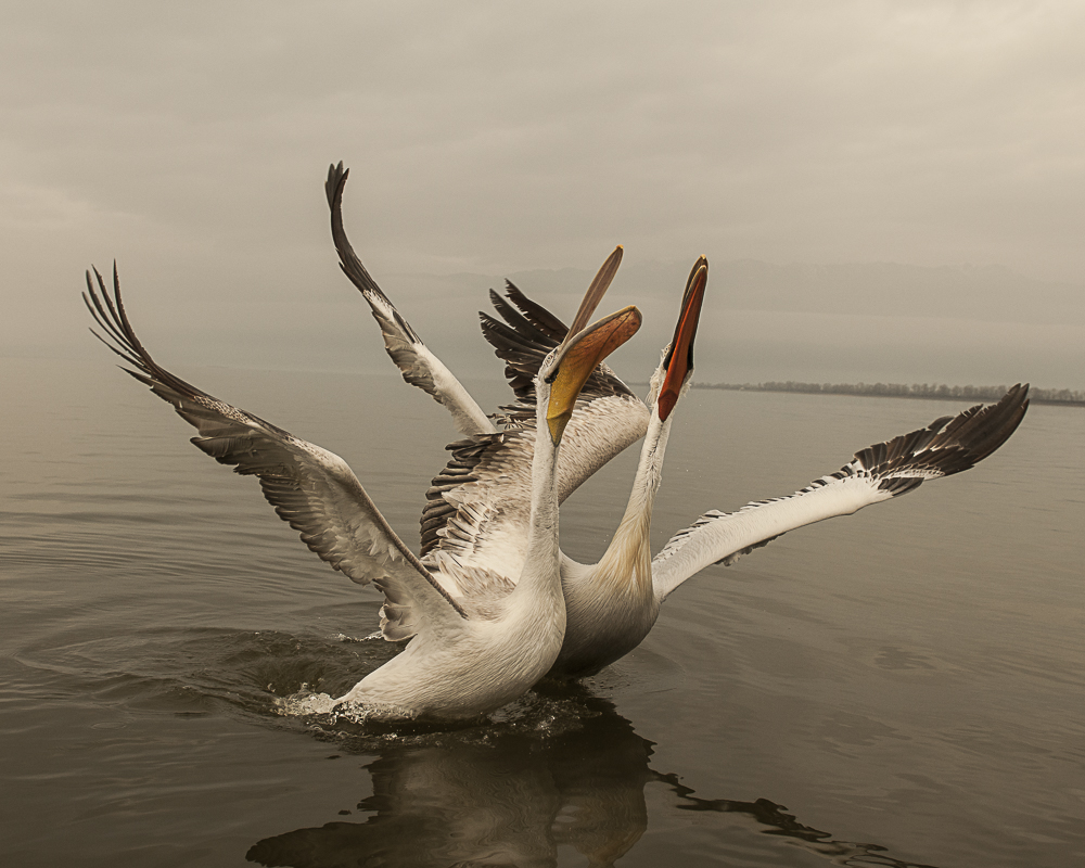 pelicano 2